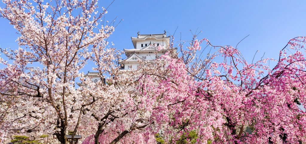Cherry Blossom trees near Himeji Castle
