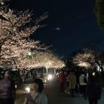 Cherry blossom viewing at night near Himeji Castle